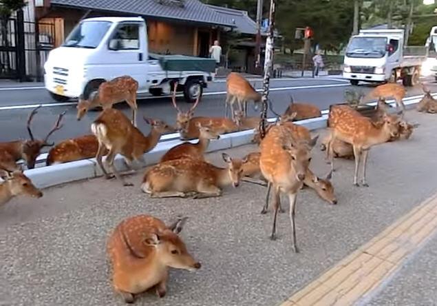 日本奈良鹿攻击游客事件创历史新高  83%是中国游客