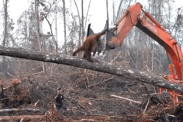 人类入侵栖息地 印尼红毛猩猩力阻怪手破坏