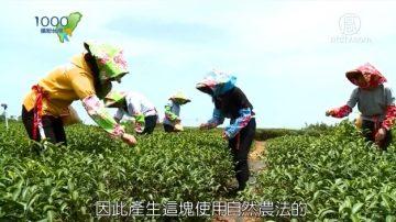1000步的缤纷台湾:台湾铜锣 东方美人茶的故乡