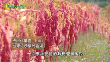 美丽心台湾:机械化量产 台湾红藜缤纷登场