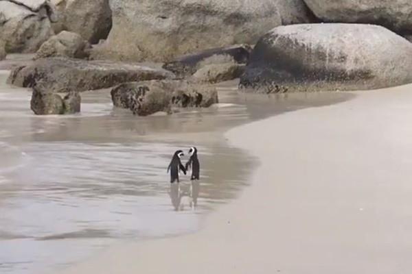 拍婚纱照取景?南非企鹅沙滩手牵手散步 羡煞众网友(视频)