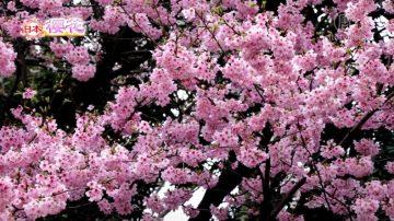 【你好日本】日本樱花