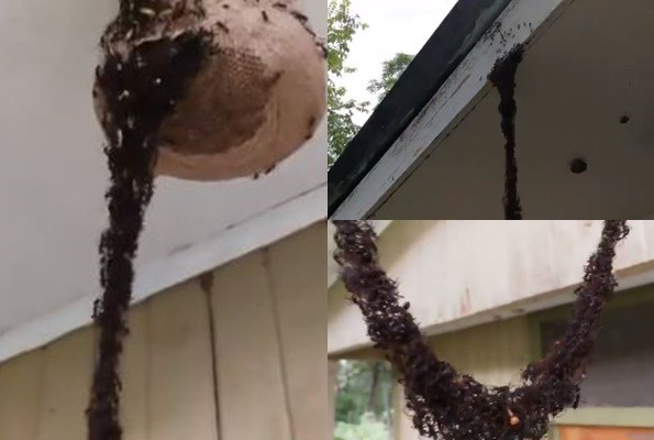慎入!百万蚂蚁肉身筑桥 攻进蜂巢偷吃(视频)