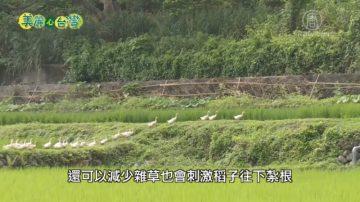 美丽心台湾:稻间鱼 鸭间稻 刘孟承广推自然农法