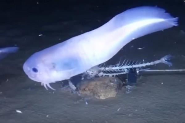 """出水即融! 7千米深海发现""""果冻状""""新鱼种"""