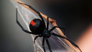东京惊现红背蜘蛛  被咬30分内命丧黄泉