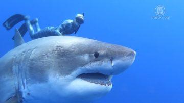 与20英尺长巨鲨同游 科研员吁保护鲨鱼