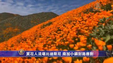 赏花人流堪比迪斯尼 南加小镇封路应对