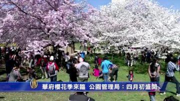 华府樱花季来临 公园管理局:四月初盛开