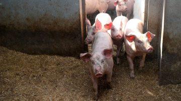 【今日点击】猪年瘟猪大不吉 中国走私瘟猪肉为哪般?
