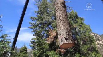 响应川普要求 纽森为森林防火清除环保障碍