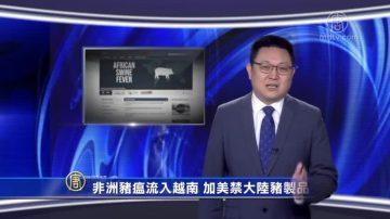 【微视频】非洲猪瘟流入越南 加美禁大陆猪制品